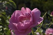 Rosa Borbonica - Adam Messerich