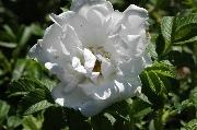 Rosa Rugosa - Blanc Double de Coubert