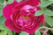 Rosa Rugosa - Parfum de l'Haÿ