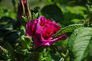 Rosa Rugosa - Roseraie de l'Haÿ