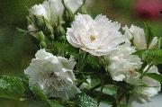 Rosa Rugosa - Weiße Nelkenrose (`White Grootendorst`)