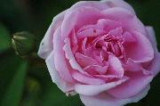Rosa Borbonica - Blairii II