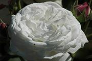 Rosa Borbonica - Boule de Neige