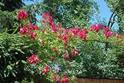 Kletterrosen und Rambler - Crimson Rambler