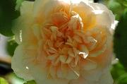Englische Rosen - Charity