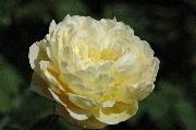 Englische Rosen - Charlotte