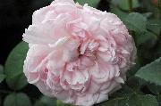 Englische Rosen - Eglantyne