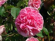 Englische Rosen - Gertrude Jeckyll