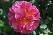 Englische Rosen - Lilian Austin