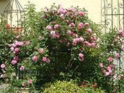 Englische Rosen - Mary Rose