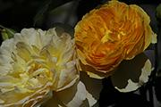 Englische Rosen - Molineux