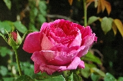 Englische Rosen - AUSlo