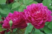 Englische Rosen - Sophy's Rose
