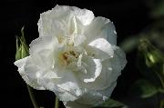 Rosa Borbonica - Kronprinzessin Viktoria