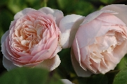 Englische Rosen - Sweet Juliet