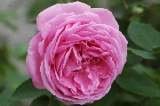 Rosa Borbonica - Louise Odier