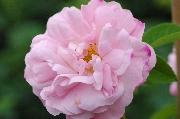 Rosa Alba - Belle Amour
