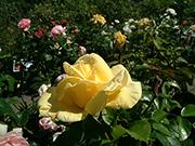 Rosen von Delbard - Dune