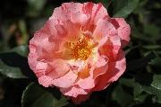 Rosen von Delbard - Grimaldi