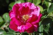 Rosen von Delbard - Guy Savoy