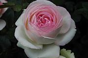 Moderne Strauchrosen - Pierre de Ronsard ('Eden Rose 85')