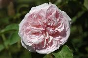 Rosa Borbonica - Souvenir de la Malmaison