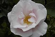 Rosa Borbonica - Souvenir de St. Anne's