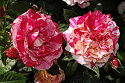 Rosen von Delbard - Henri Matisse