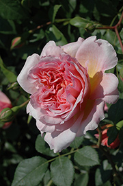 Englische Rosen - Anne Boleyn
