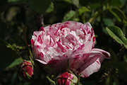 Rosa Borbonica - Variegata di Bologna