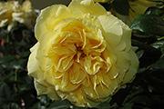 Rosen von Delbard - Souvenir de Marcel Proust