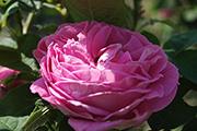 Remontant Rosen - Comtesse Cécile de Chabrillant