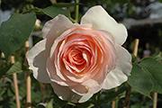 Englische Rosen - Perdita