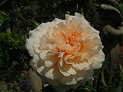 Englische Rosen - Bredon