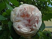 Englische Rosen - Cymbeline