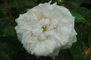 Rosa Centifolia - Blanchefleur