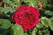 Englische Rosen - The Prince
