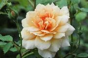 Englische Rosen - Grace