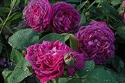 Remontant Rosen - Reine de Violettes - dunkle Variante