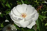 Rosen von Delbard - Dominique Loiseau