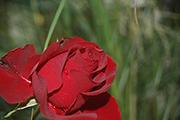 Rosen von Delbard - Heinz Winkler