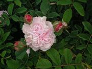 Rosa Alba - Blush Hip