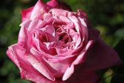 Rosa Generosa von Guillot - Agnes Schilliger