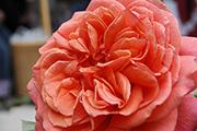 Rosa Generosa von Guillot - Emilien Guillot