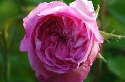 Rosa Centifolia - Tour de Malakoff