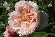 Englische Rosen - Wildeve