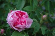 Rosa Centifolia - Typ Kassel