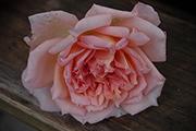 Englische Rosen - Janet