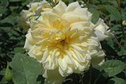 Englische Rosen - St. Alban