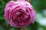 Rosa Centifolia Muscosa - Baron de Wassenaer